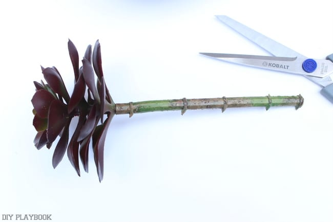 Cut the succulent stems so they fit down inside your arrangement easily.