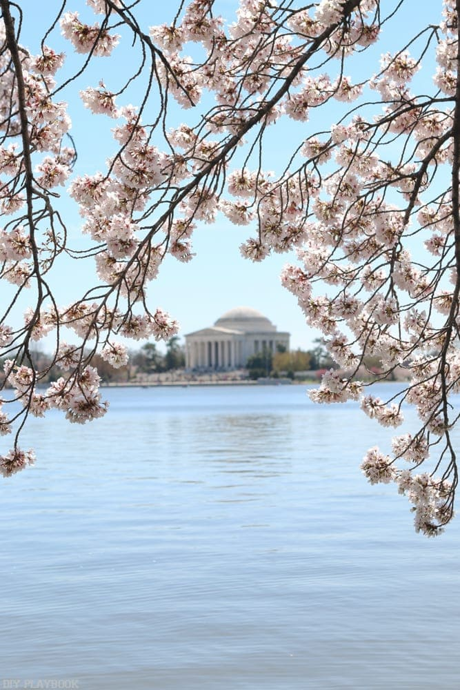 Washington DC cherry blossoms around Tidal Basin.