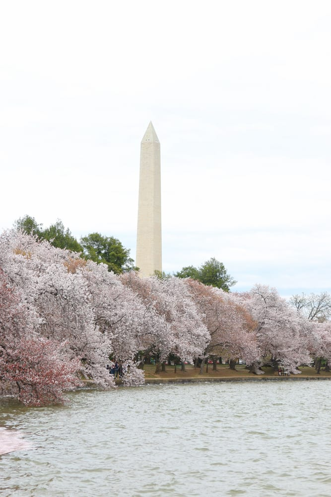 Washington Monument peeking out above the cherry blossoms.