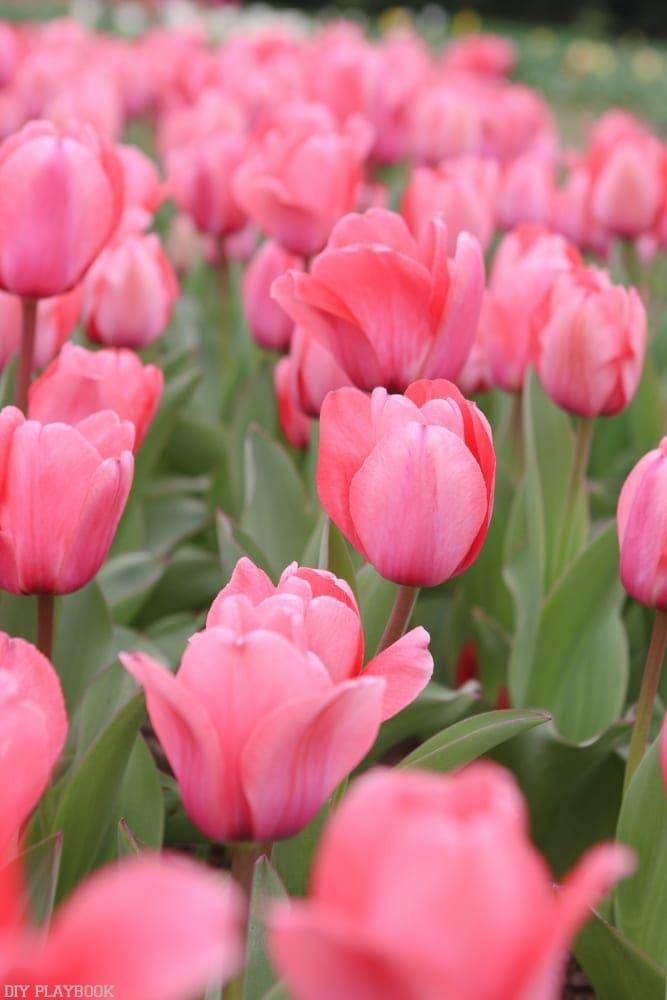 Tulips at Georgetown University.