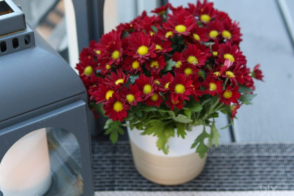 A small red mums plant