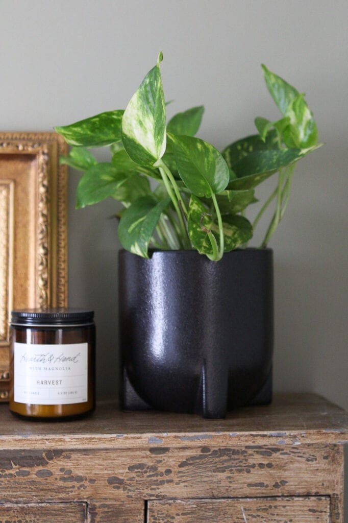 Black planter and golden pothos