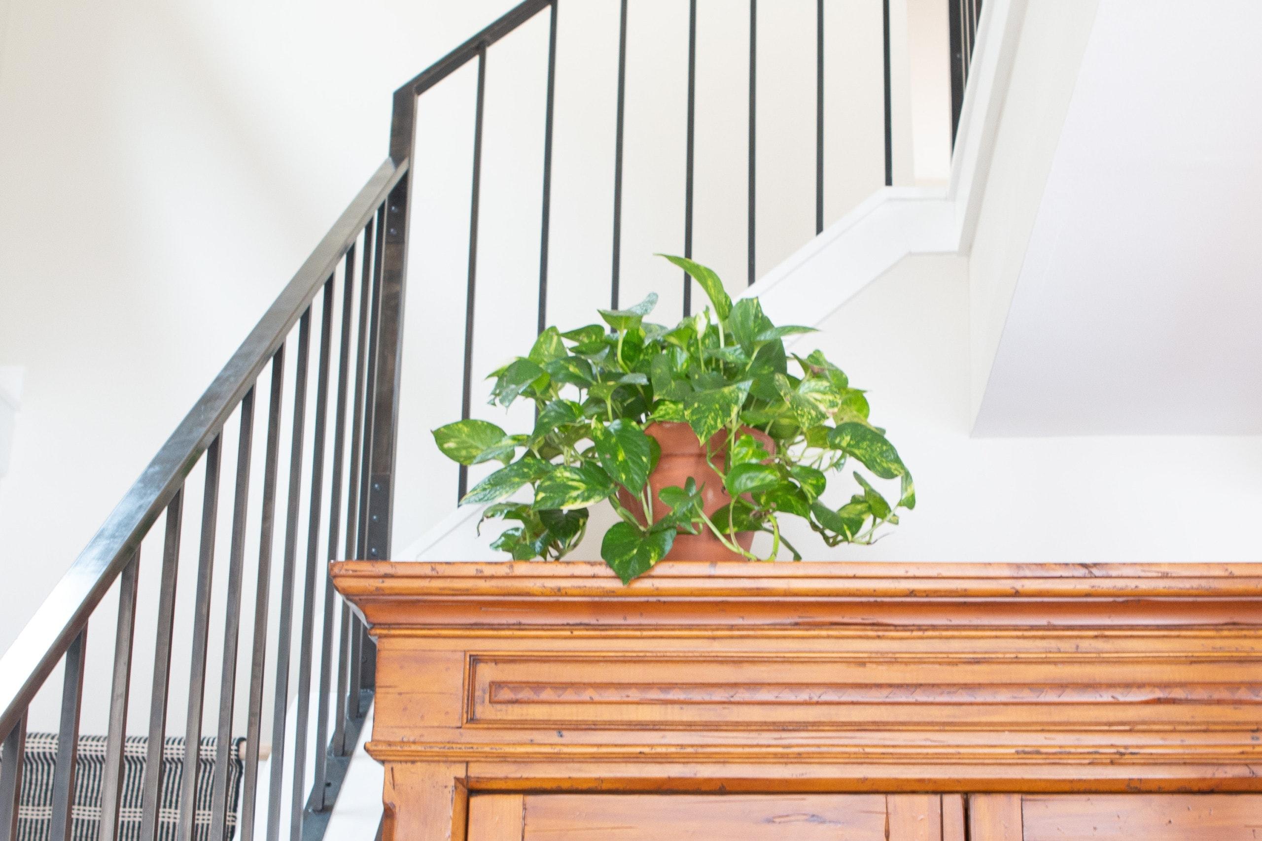 Pothos indoor plants