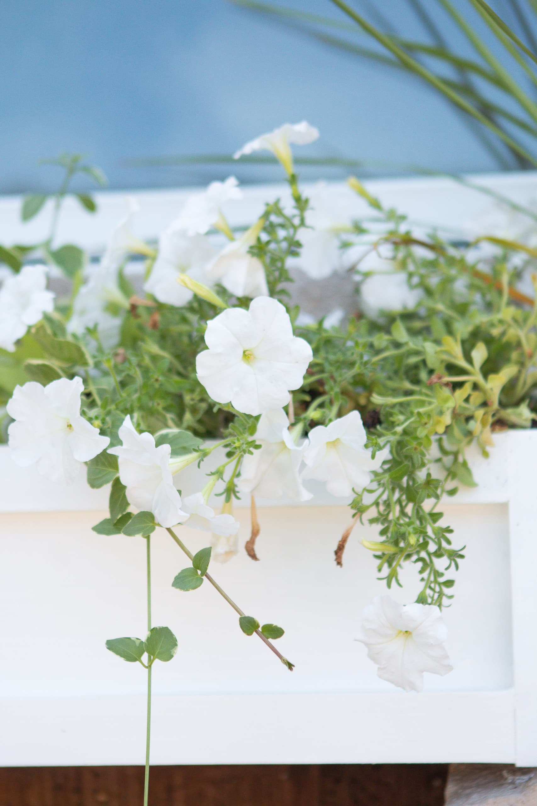 White wave petunias in a window box
