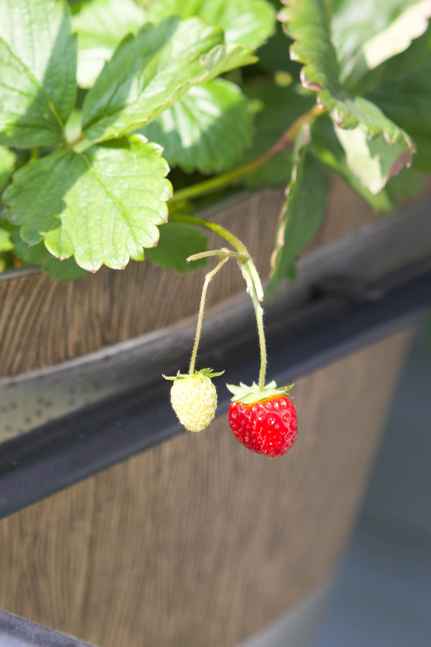 Growing strawberries in the backyard
