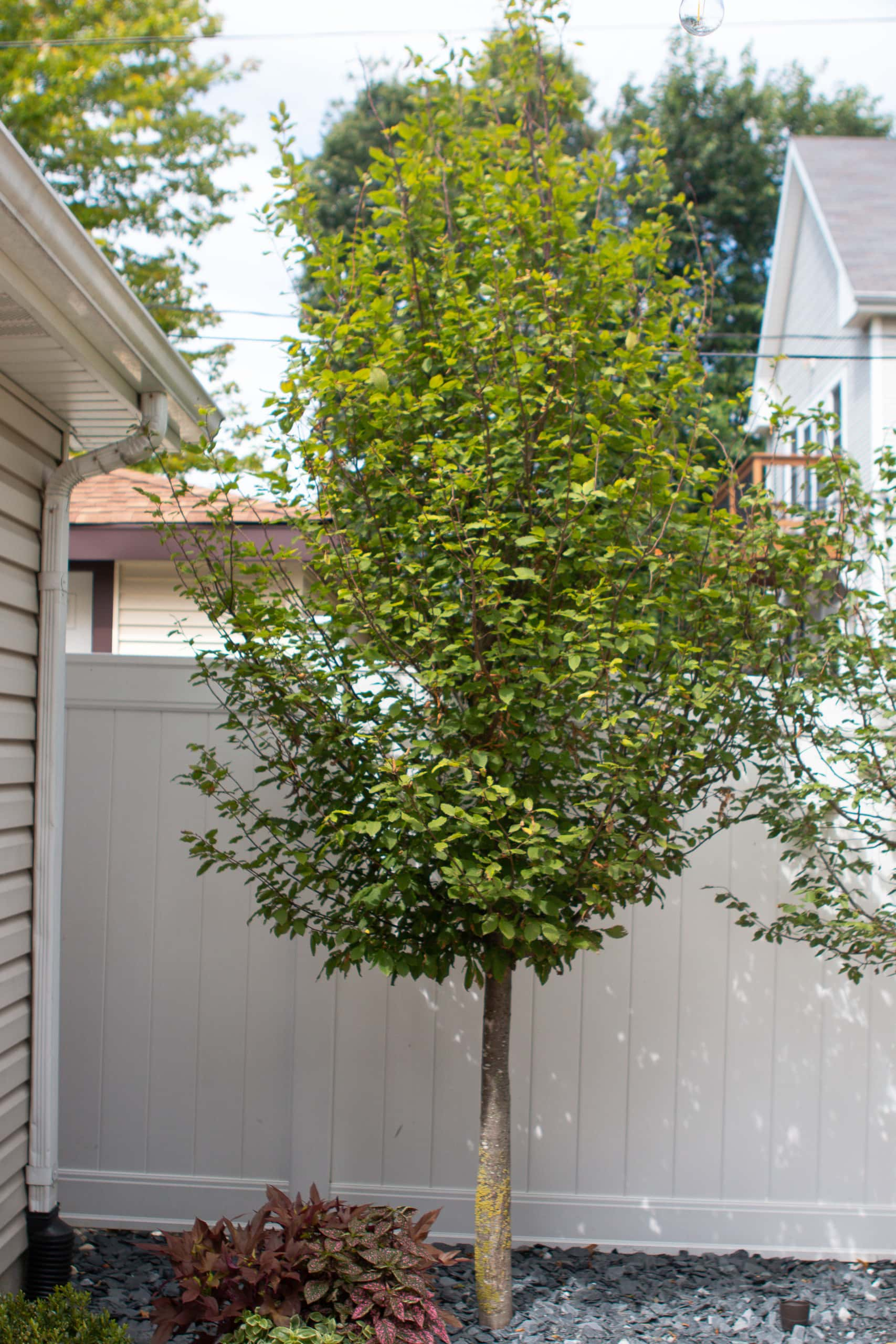Our new trees in the backyard