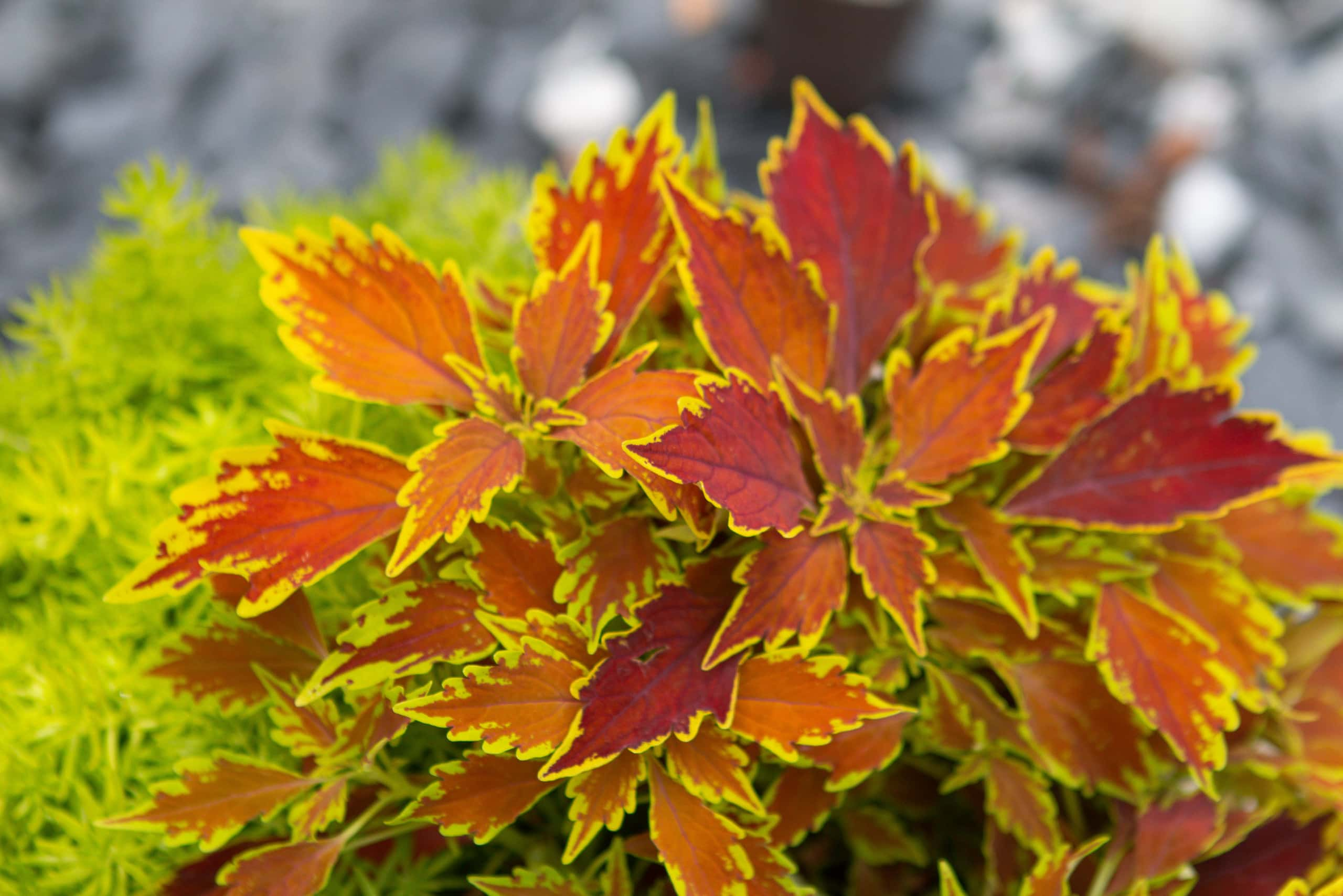 Flame thrower plant